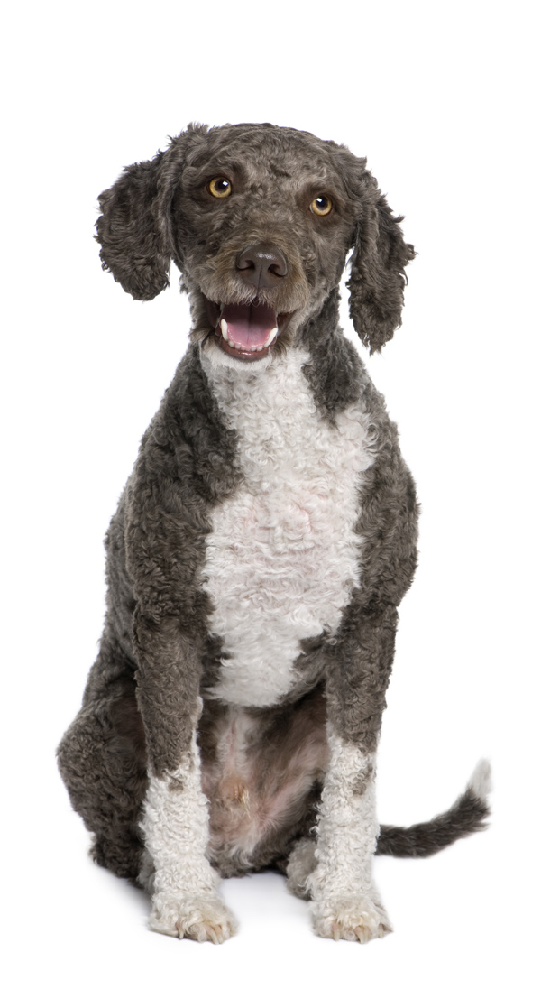 Spanish water spaniel dog, 3 years old, sitting in front of whit